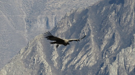 Amazing Condors - with over 3m of wingspan, they are massive!!! We were lucky to see a couple of them.